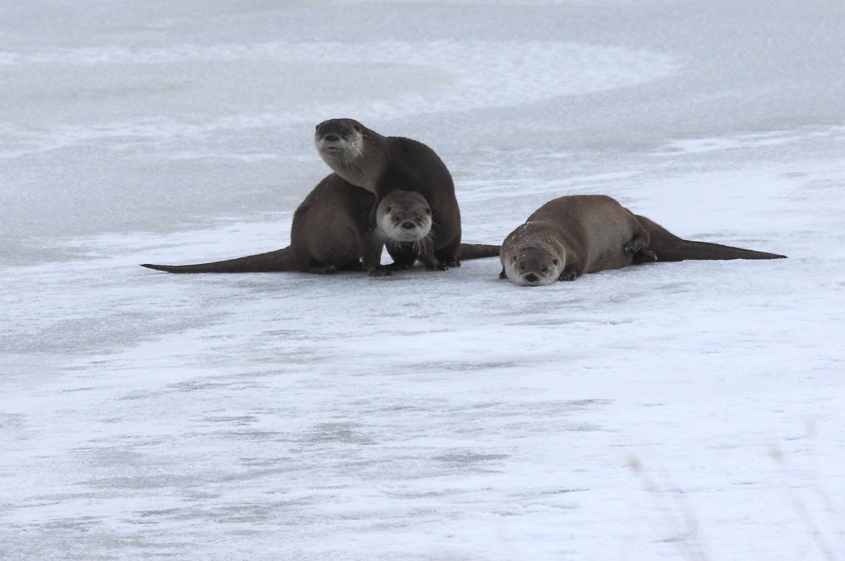 Otters on Ice