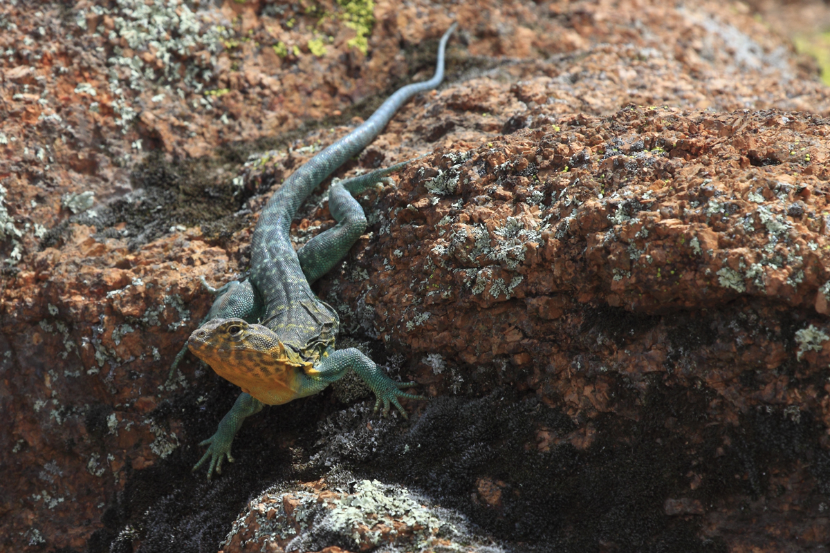 Early Season Male Collared Lizard