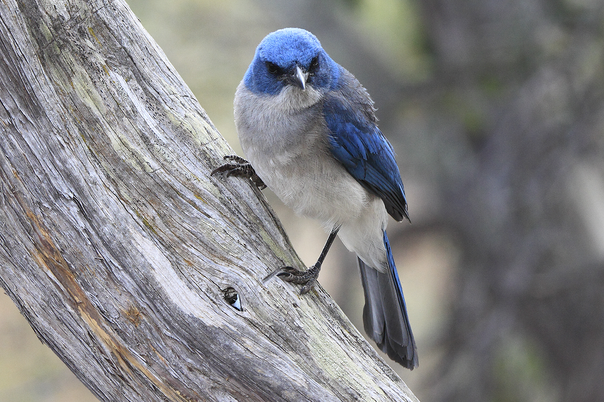 Mexican Jay Looking For A Snack