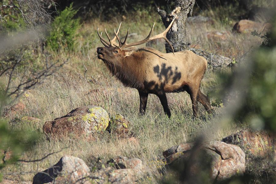 Monster 5 x 5 Bull Elk