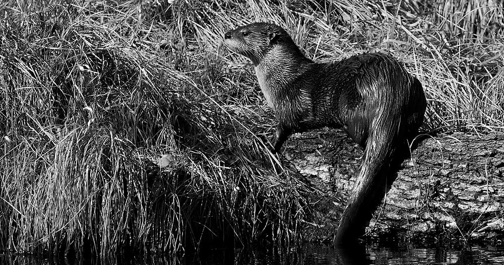 Otter header