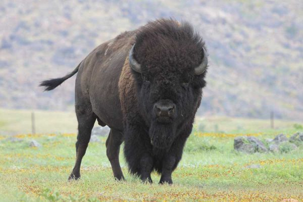 bison wildlife photography