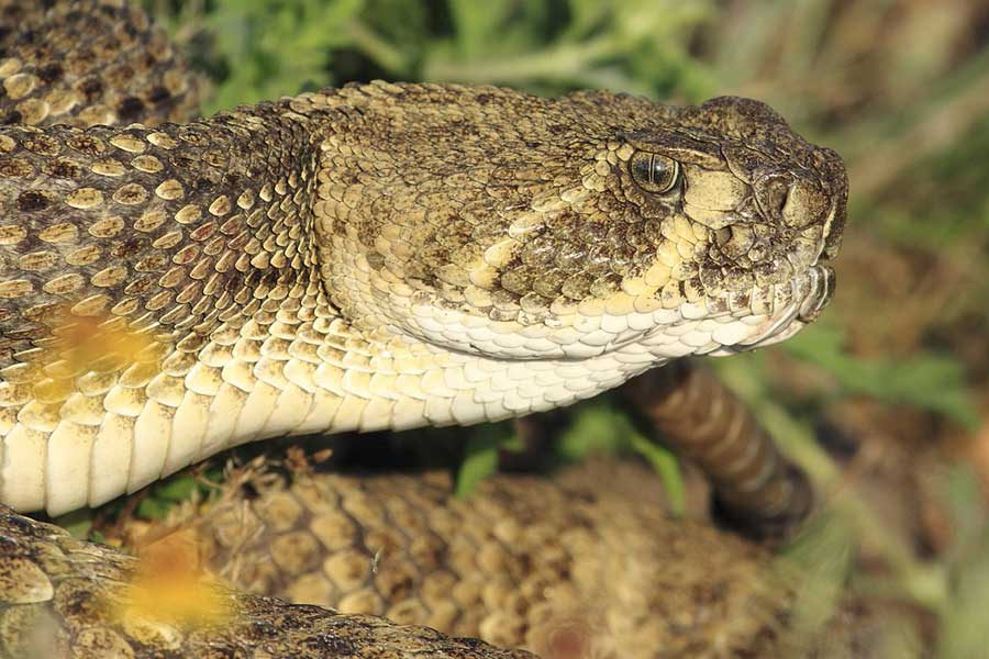 Wildlife photography - Rattlesnake