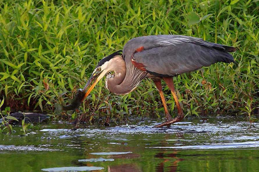 Wildlife photography - Great Blue Heron