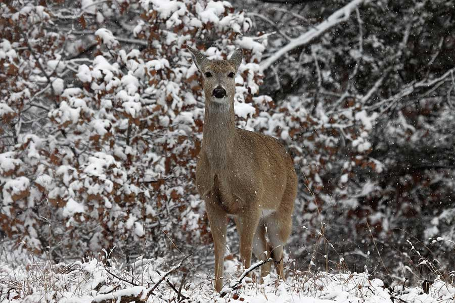 deer photography - Doe in the Snow