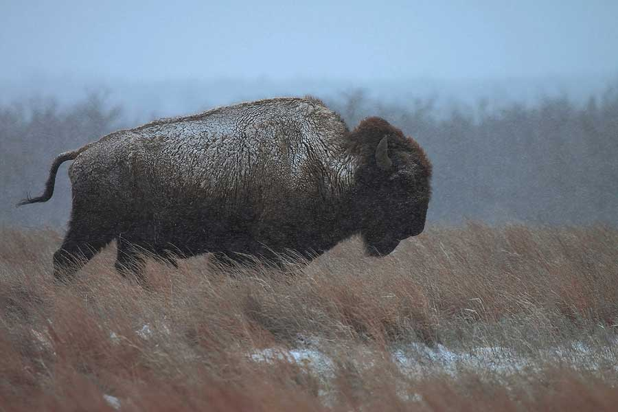 Bison photography - Into The Wind