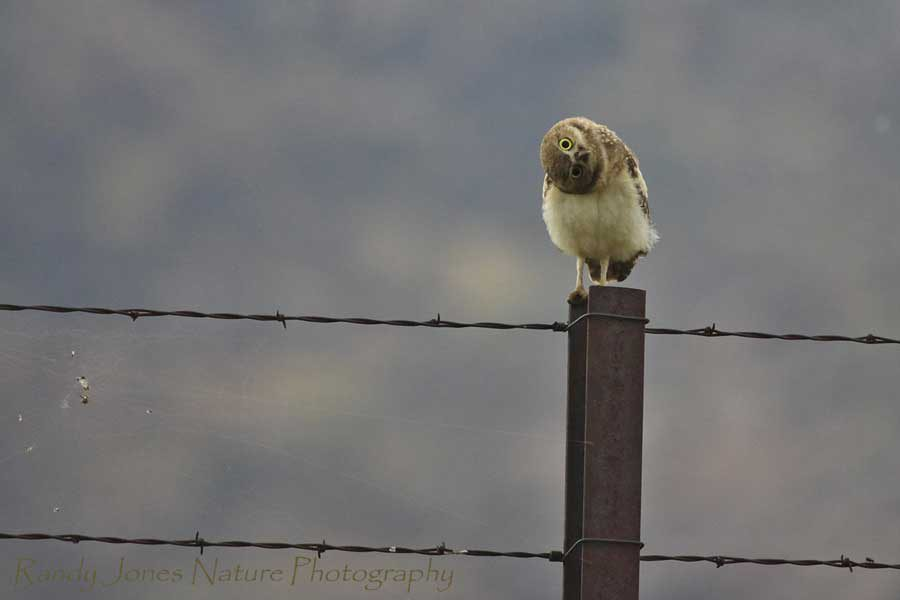 Wildlife photography - Burrowing Owl