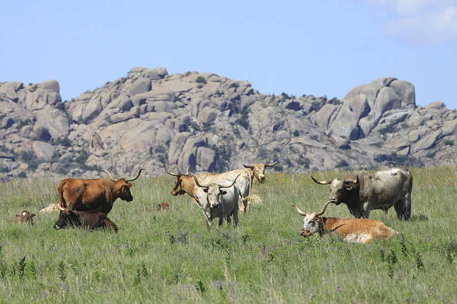 Landscape photography - Longhorns With A Mount Lincoln Background
