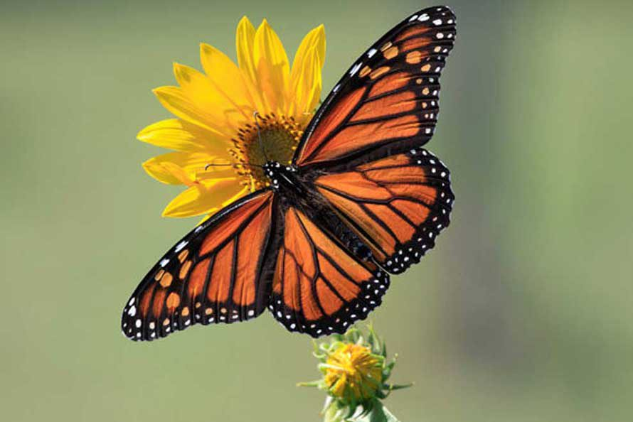 Nature photography - Monarch Butterfly on Maximilian Sunflower