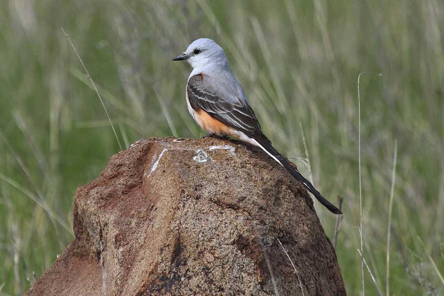 Wildlife photography - Scissortail Flycatcher