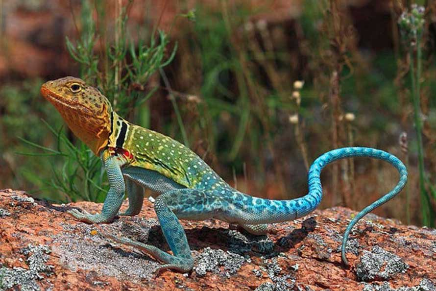 Wildlife photography - Collared lizard