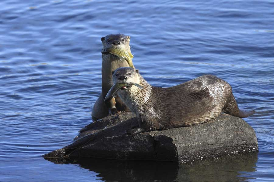 otter photography - Two Fish Are Better Than One